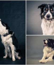 amazing+border+collie